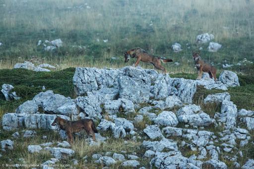 Lupi appenninici esplorano un pendio montuoso alla fine dell'estate Apennine wolves in late summer exploring a mountain slope - © Bruno D'Amicis