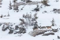 Tre lupi nella neve seguono la traccia della preda Three wolves in the snow follow the tracks of their prey - © Bruno D'Amicis