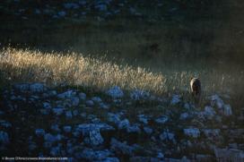 Il profilo inconfondibile di un lupo si allontana nella luce del mattino The unmistakable profile of a wolf walking away in the morning light - © Bruno D'Amicis