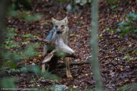 Un cucciolo di lupo trasporta la testa di una cerva uccisa dai genitori A wolf pup carries in its jaws the head of a deer killed by its parents - © Bruno D'Amicis