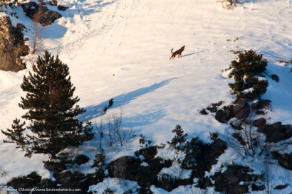 Un lupo ulula al tramonto su un pendio innevato A wolf howls at sunset on a snowy mountain slope - © Bruno D'Amicis