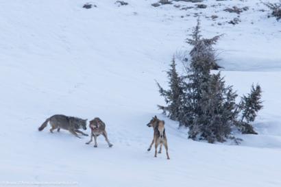 Due lupi attaccano un intruso nel loro territorio Two wolves attack an intruder in their territory - © Bruno D'Amicis