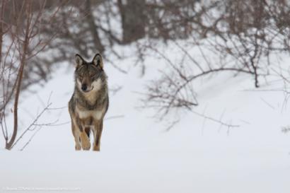Uno splendido lupo appenninico ritratto nel cuore dell'inverno A beautiful Apennine wolf portrayed in the heart of winter - © Bruno D'Amicis