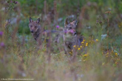 Cuccioli di lupo a fine estate in una radura di montagna Wolf pups in late summer in a mountain meadow - © Bruno D'Amicis