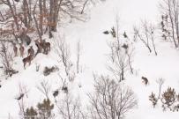 La tensione dell'incontro tra un lupo e un branco di cervi in inverno A tense stand-off between a wolf and a small herd of red deer in winter - © Bruno D'Amicis