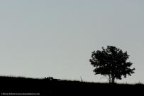 Tre lupi si annusano su un crinale alle prime luci del giorno Three wolves smell eachother on a ridge in the first daylight - © Bruno D'Amicis