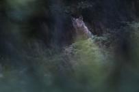 Al crepuscolo, un giovane lupo si affaccia timidamente al limite del bosco - © Bruno D'Amicis