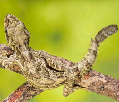 GECO VOLANTE (Ptychozoon kuhli)