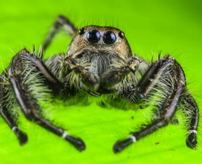 RAGNO SALTATORE (Hyllus sp.)