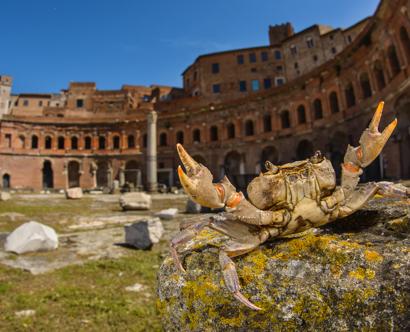 GRANCHIO DI FIUME (a Roma) (Potamon fluviatile)