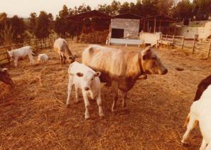_03-Agricola-Cornelia-S.p.A.-Allevamento-di-bovini,-1976