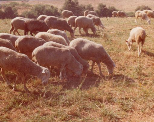 _05-Agricola-Cornelia-S.p.A.-Allevamento-di-ovini.-Il-gregge,-1976