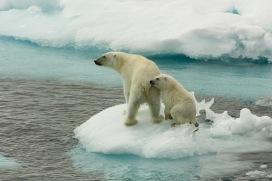A polar bear mother and her young on sea ice, north of Svalbard. Eisbaerin mit Jungtier auf Eisscholle, noerdlich von Spitzbergen.
