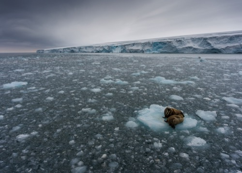 Aerial view over two walruses on an ice floe in front of Kvitøya (White Island) in the Svalbard Archipelago.