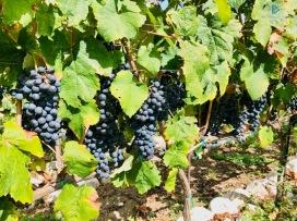 cantina-imperatori-frascati-vino-vendemmia-roma-2019