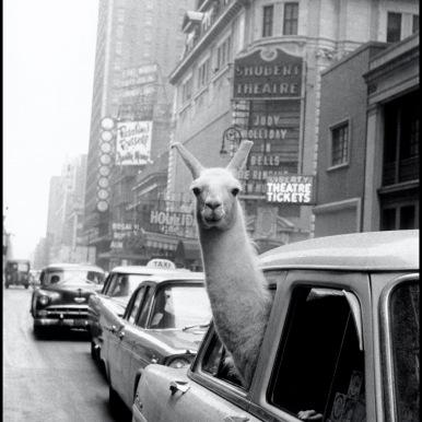 Inge Morath, Un lama a Times Square, New York, 1957