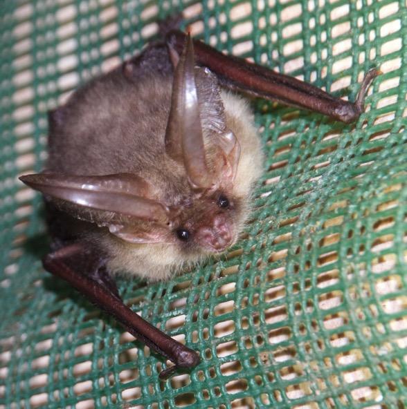 pipistrello-bat