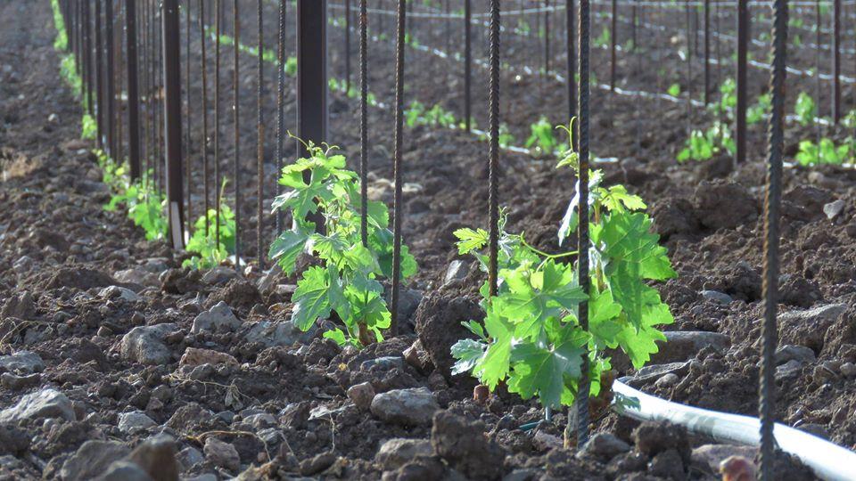 vigna-vitigni-terreno-coltivato-green-piante