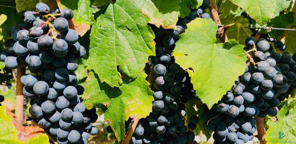 uva-grapes-foglie-leaves-grappolo