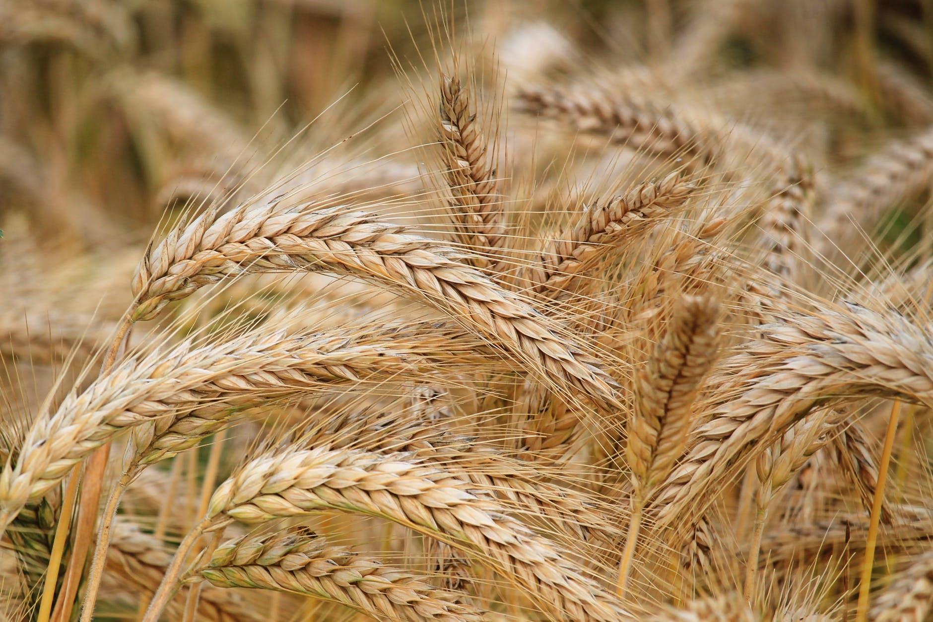 cereali-grano-spighe