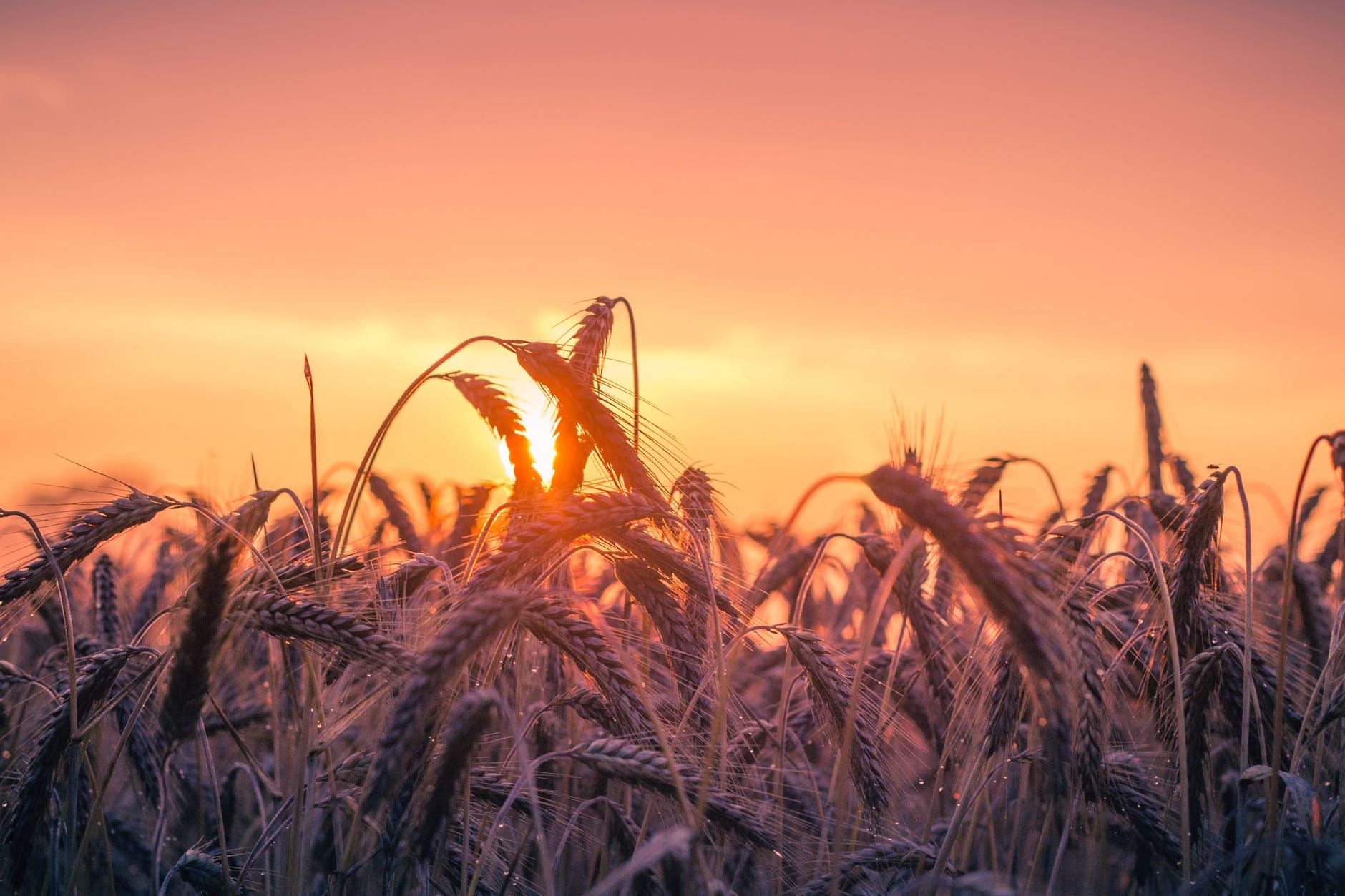 cereali-spighe-sole-cielo-sun-sky