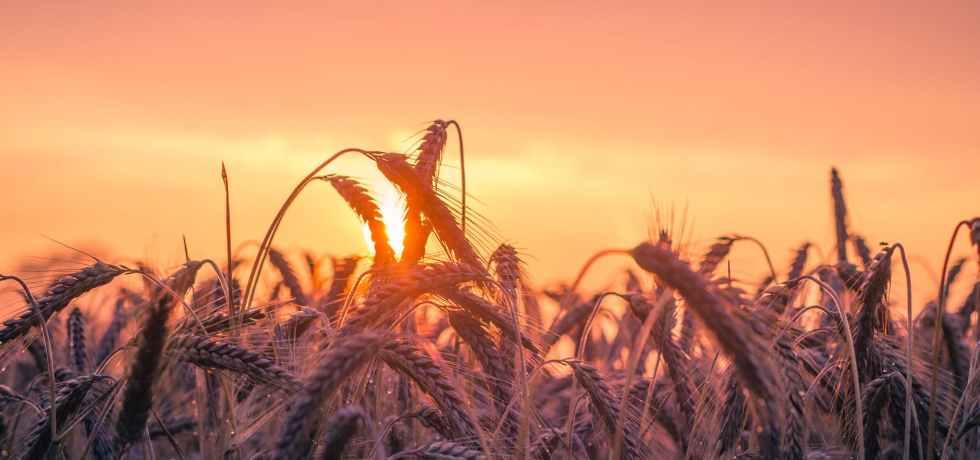 spiga-grano-cereal-sole-cielo-sky