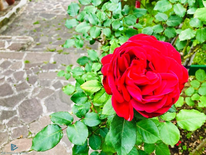 rosa-rossa-foglie-ciottoli