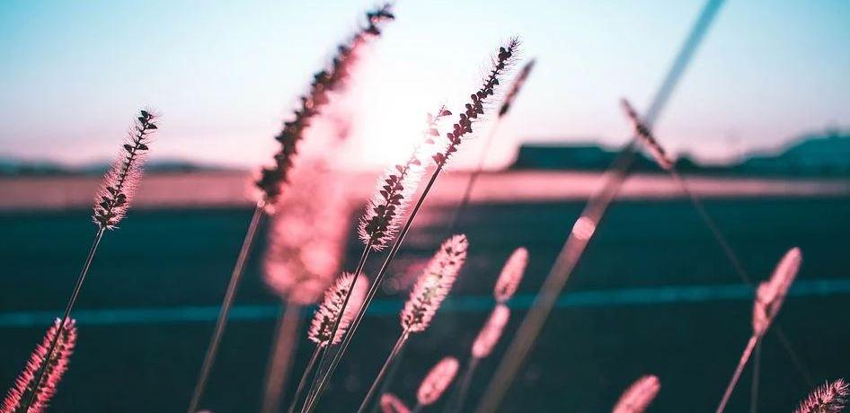 spighe-tramonto-outdoor-piante